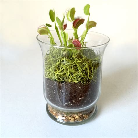 Something to eat for Halloween: a carnivorous plant