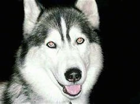 Siberian Husky Dog Breed Pictures, 3