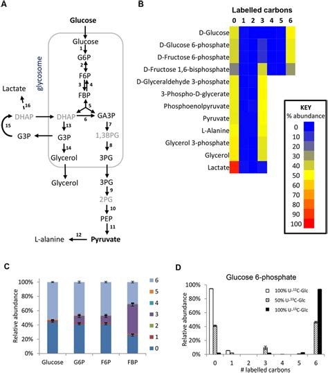Labelling of glycolytic intermediates from 50% U-13C